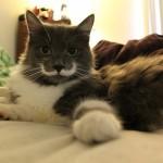 small_hamilton-the-hipster-cat1